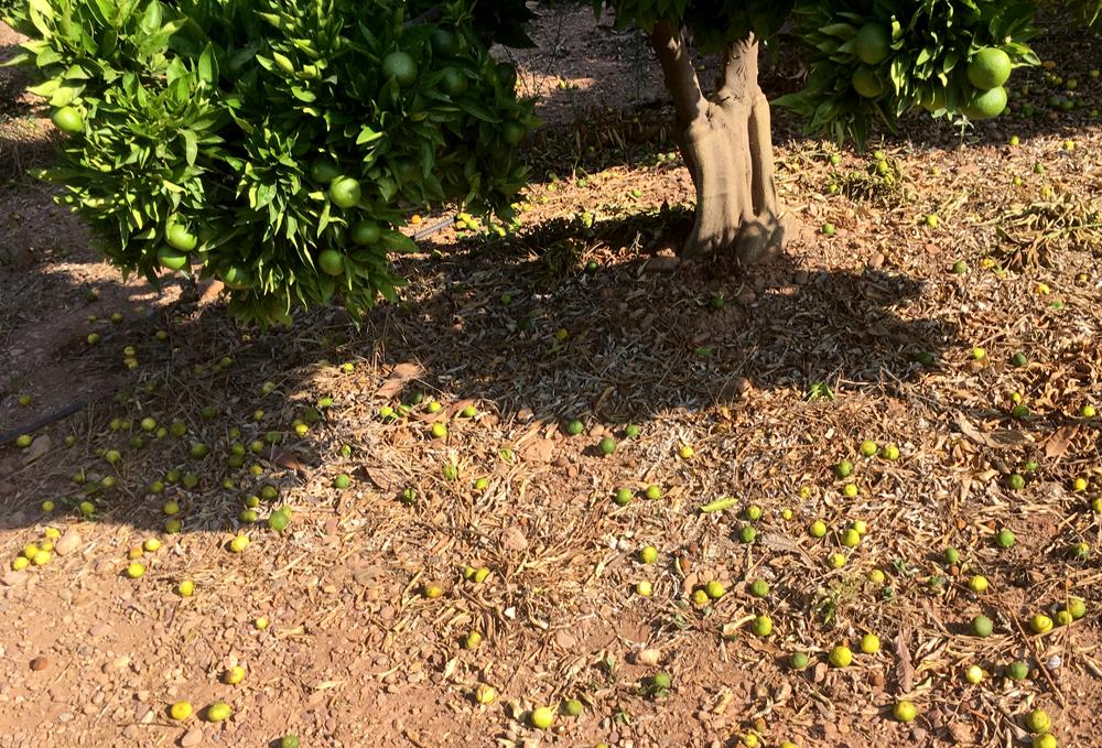 Calentamiento global en el cultivo de cítricos