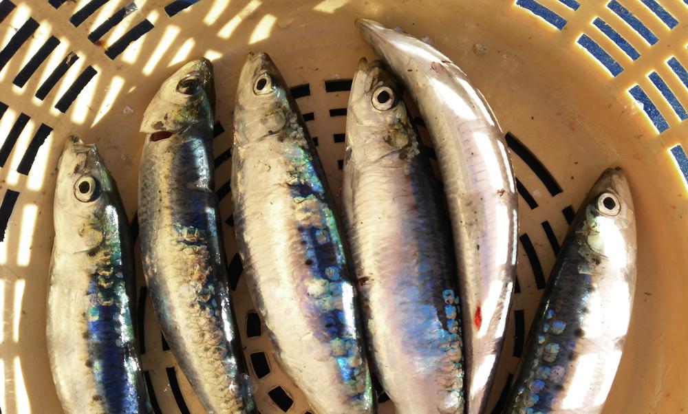 El cambio climatico en el oceano afecta a especies como las sardinas