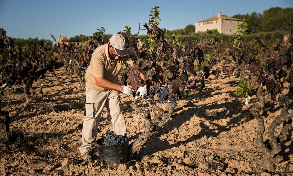 cambio climático afecta a la viña
