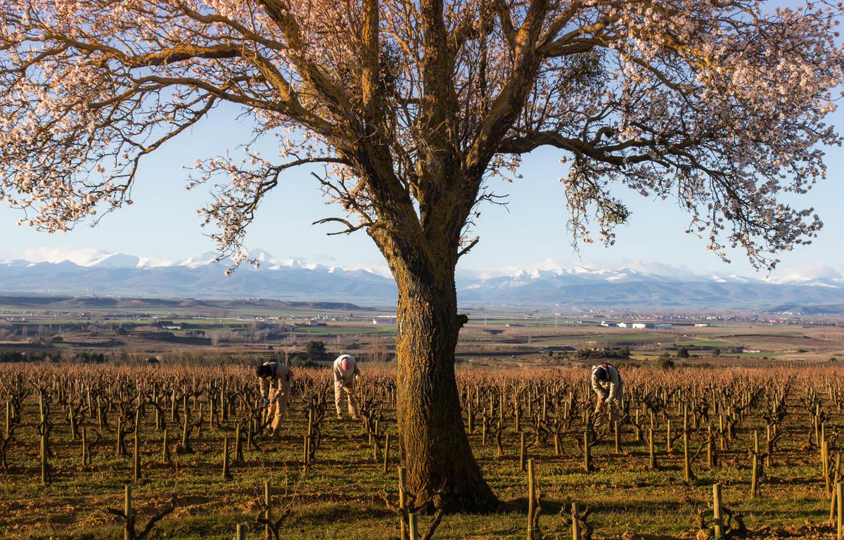 Trabajos en uno de los viñedos de Bodegas Roda afectados por el cambio climatico